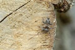 49 b Kozulka kolcokrywka - Pogonocherus hispidus (Linnaeus, 1758)